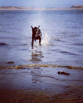 labrador, estuary, sea, dogs, swimming