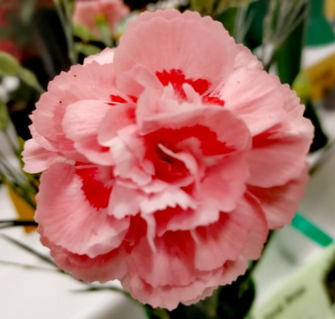 Carnation, pink, Doris pink, fragrant pinks, flower show,