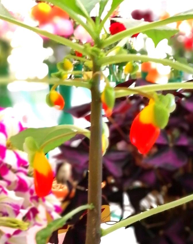 Buzzy Lizzy, flowers, gardens, pot plants, gardening